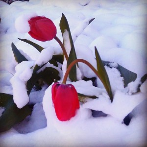 Red Tulips in the Snow by Lenore Ludlow