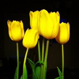 tulips-yellow-dining room